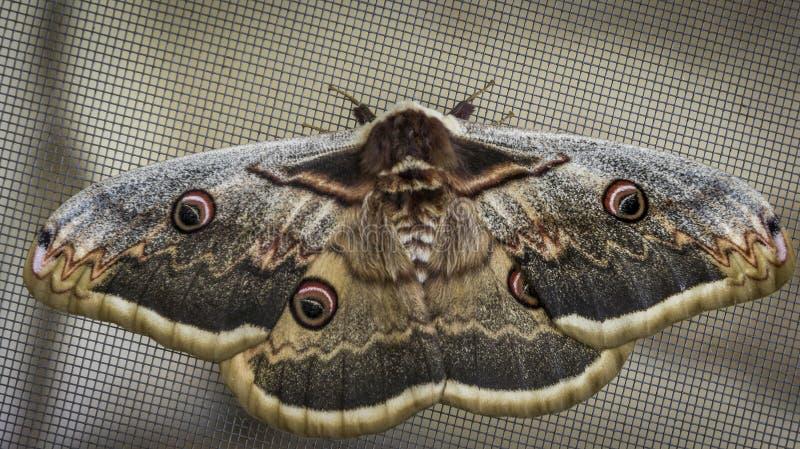 蝴蝶栖息和站立在网 有趣和大蝴蝶 库存照片