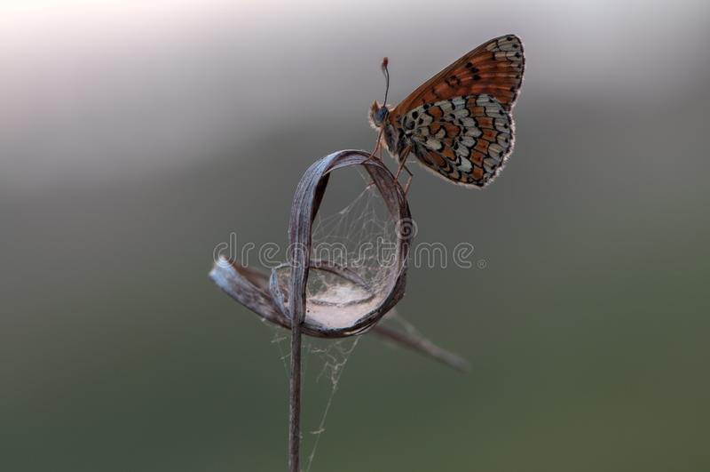 蝴蝶梅利塔在一片干燥草叶的草甸等候黎明 免版税库存照片