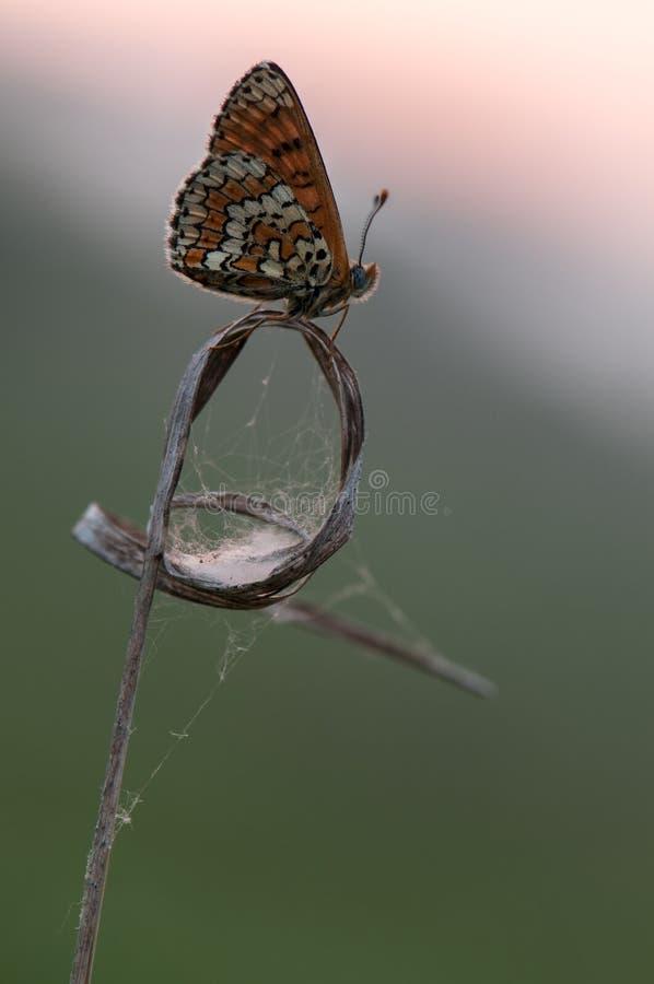 蝴蝶梅利塔在秋天在草甸等候黎明 库存图片