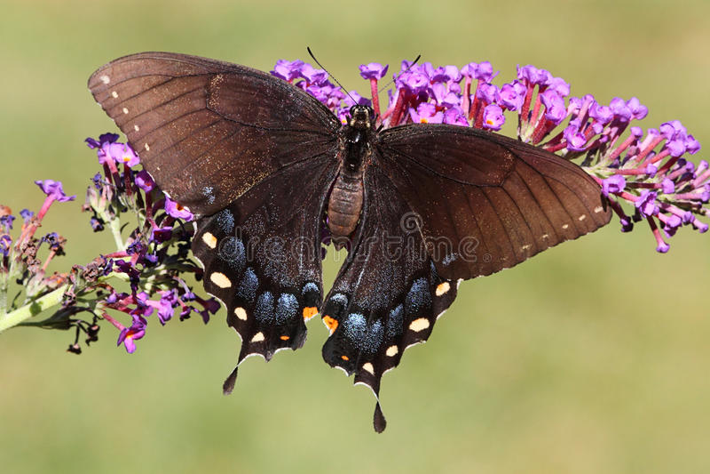蝴蝶母swallowtail老虎 图库摄影