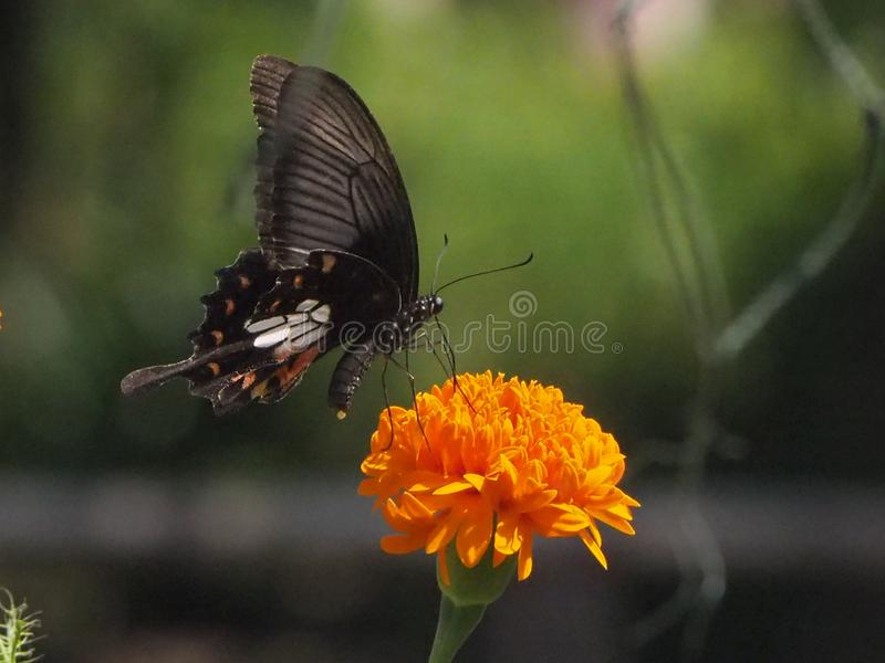 蝴蝶热情的花和绿色 免版税库存图片