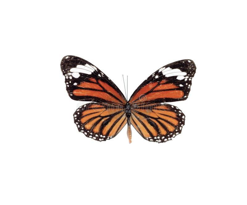 蝴蝶照片 库存图片
