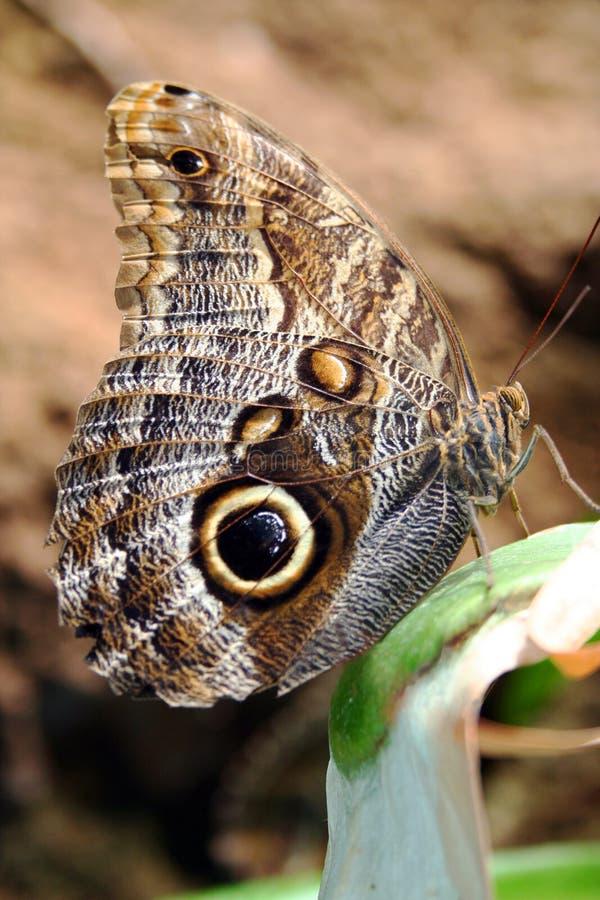 蝴蝶猫头鹰 库存照片