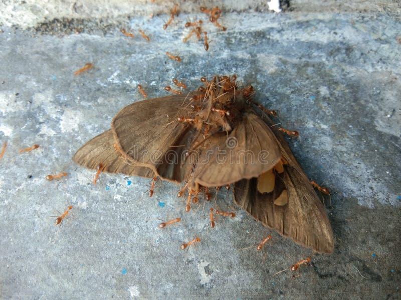蝴蝶由红色蚂蚁侵略了 库存图片