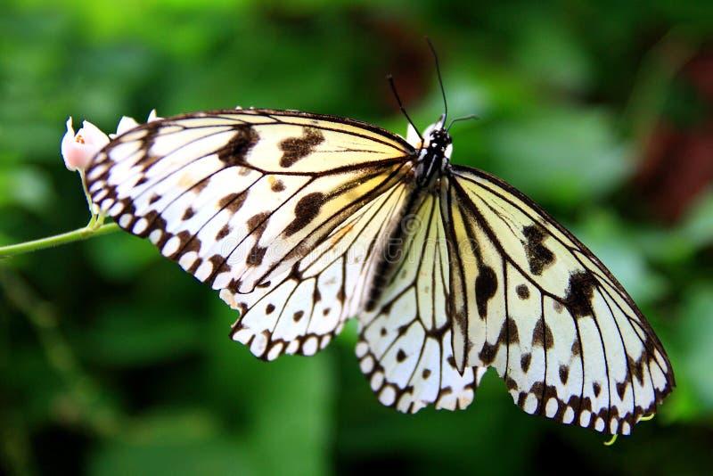 蝴蝶白色 免版税库存照片