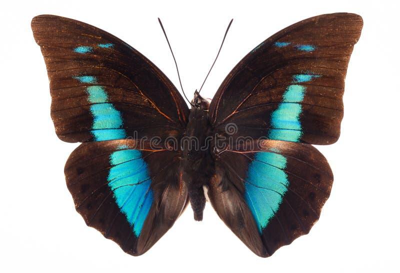 蝴蝶白色 库存图片