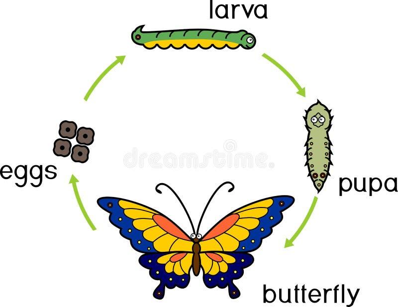 蝴蝶的生命周期 蝴蝶的生命周期 完成完全变态的变形 库存例证