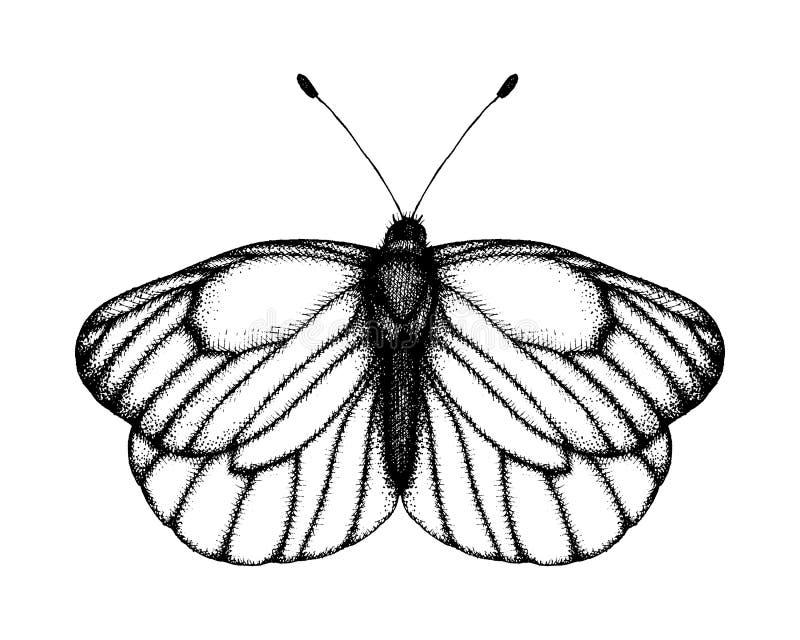 蝴蝶的黑白传染媒介例证 手拉的昆虫剪影 黑成脉络的白色详细的图解图画  皇族释放例证