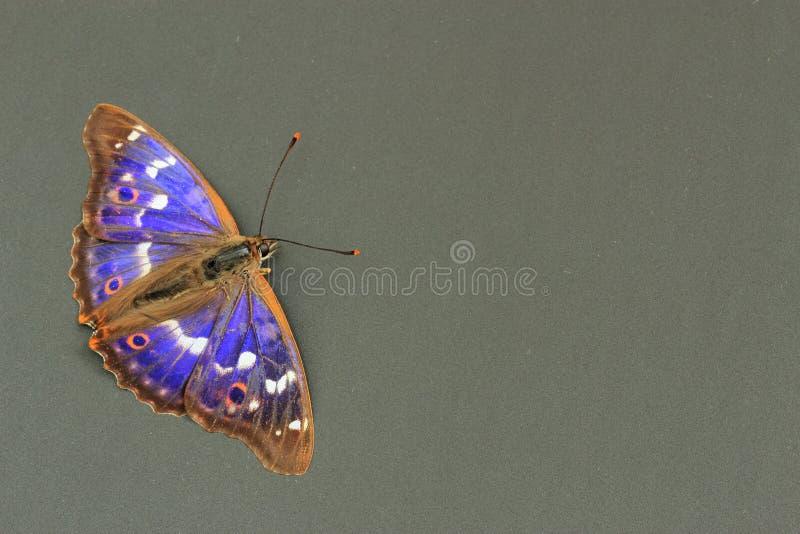 蝴蝶皇帝少许紫色 库存图片