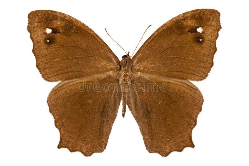 蝴蝶种类Melanitis莉达 库存图片