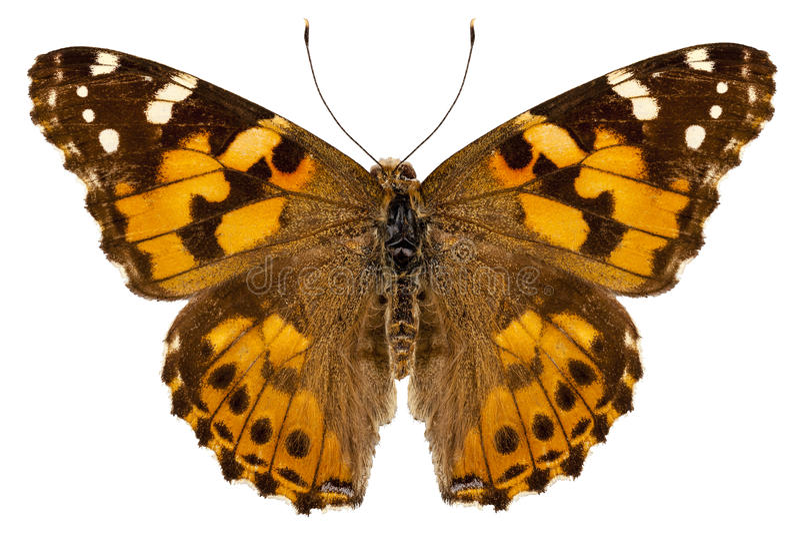 蝴蝶种类Vanessa cardui 图库摄影