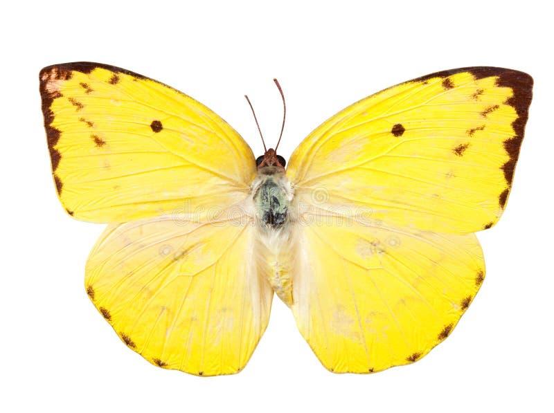 蝴蝶移出境者柠檬 免版税库存照片