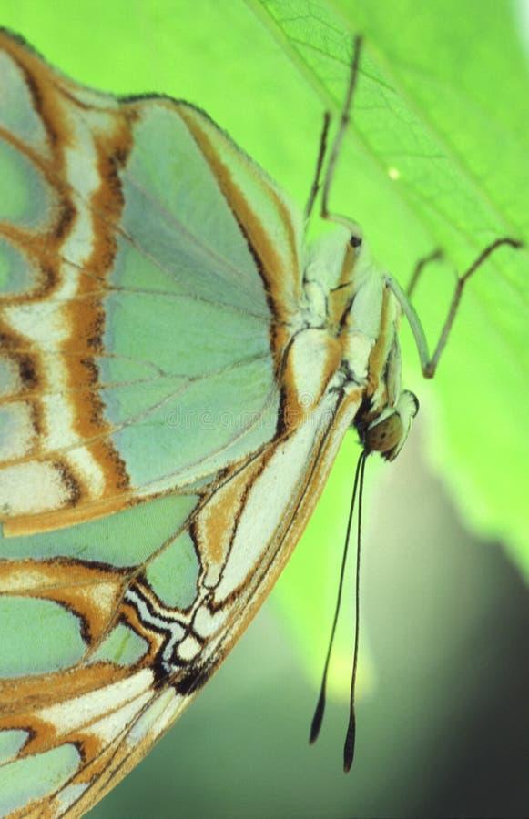 蝴蝶绿色 图库摄影