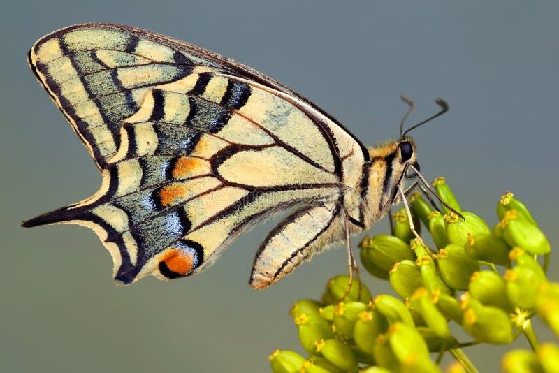 蝴蝶老swallowtail世界 免版税图库摄影