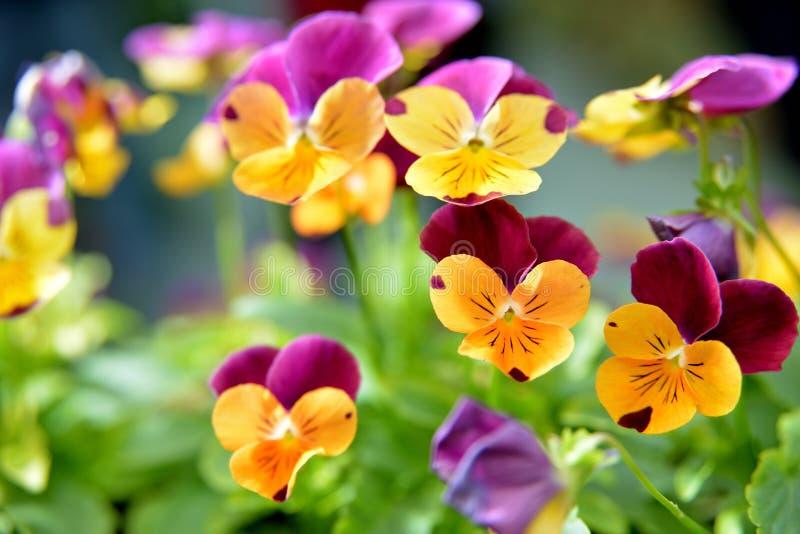 蝴蝶花中提琴花 免版税库存图片