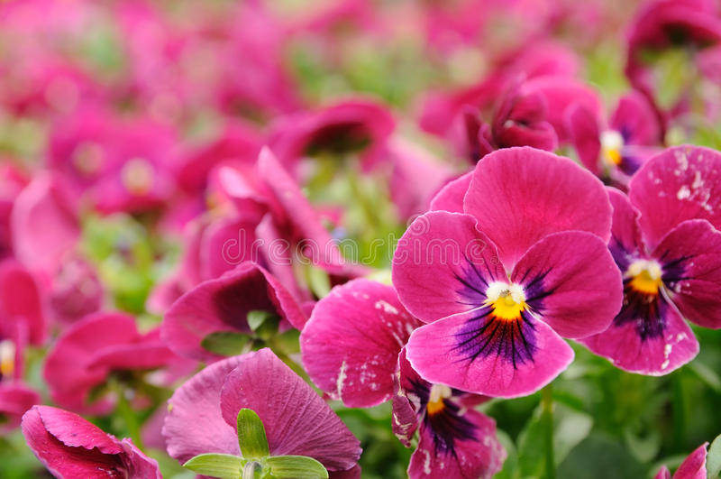 蝴蝶花紫罗兰 库存图片
