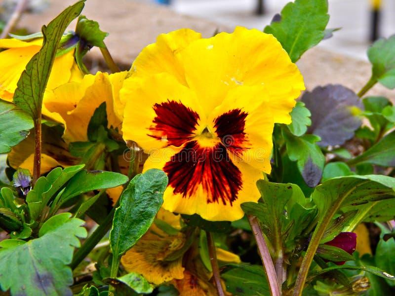 蝴蝶花花或heartsease作为背景或卡片 免版税库存图片