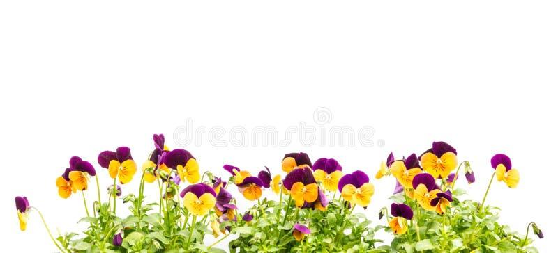 蝴蝶花,中提琴开花花卉边界 库存图片