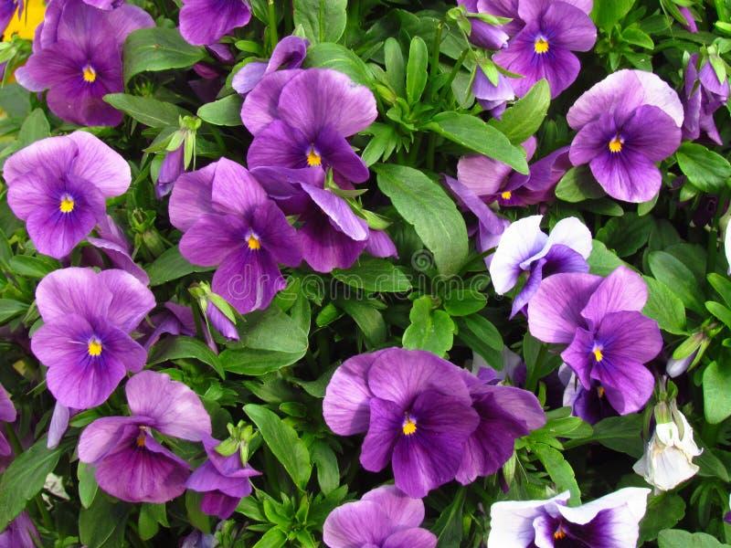 蝴蝶花,植物学名字中提琴wittrockiana,家庭紫罗兰类 免版税库存照片