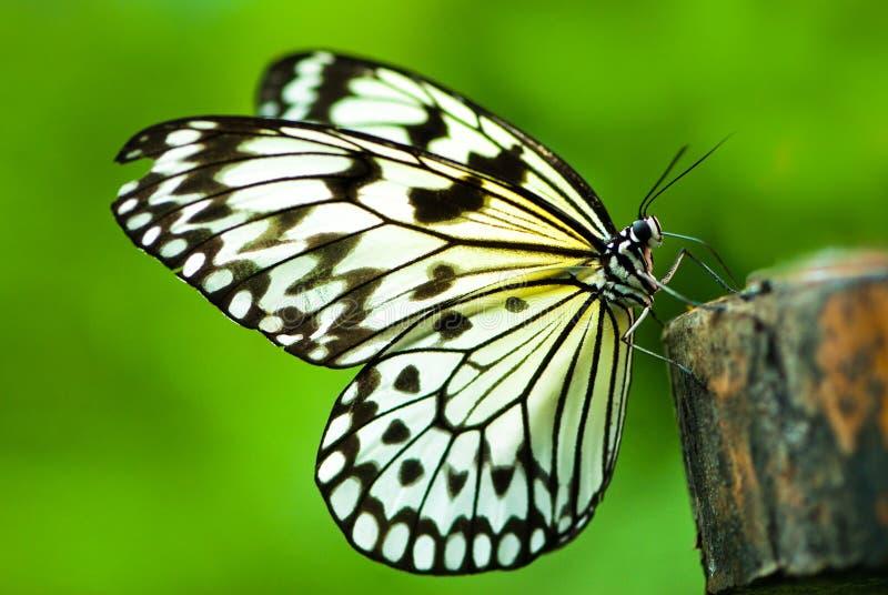 蝴蝶若虫结构树白色 免版税库存照片