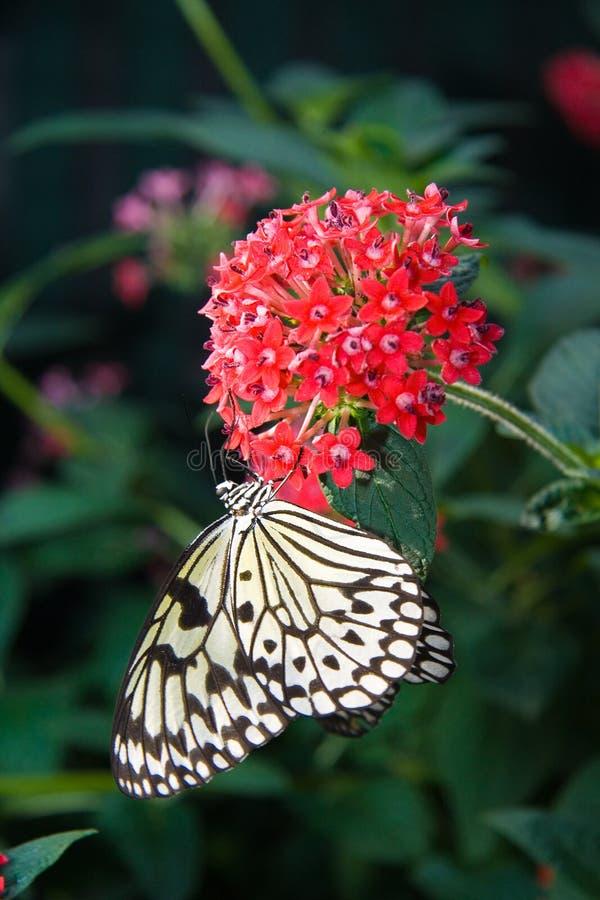 蝴蝶若虫结构树 图库摄影