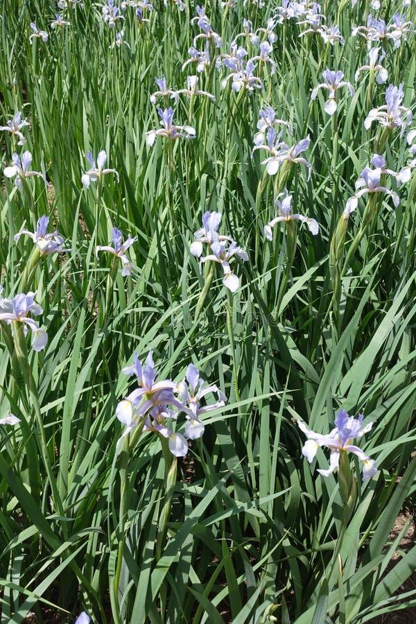 蝴蝶虹膜许多浅紫色的花  库存照片