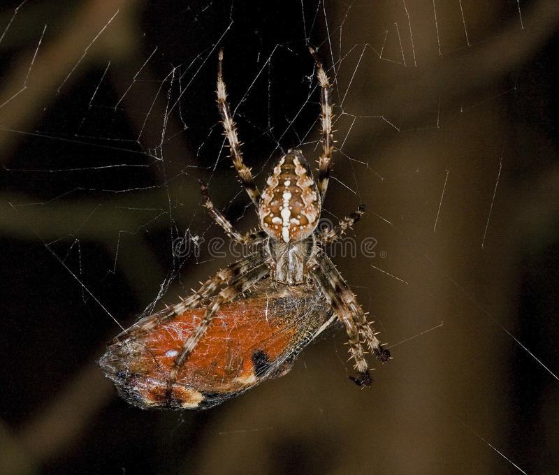 蝴蝶被捉住的花园蜘蛛 免版税库存图片