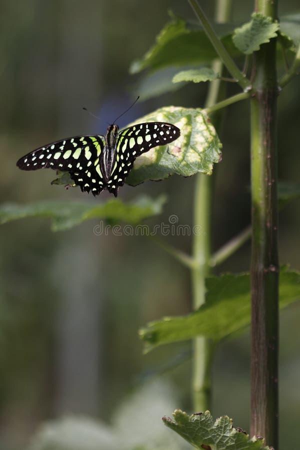 蝴蝶被盯梢的杰伊叶子 免版税库存照片