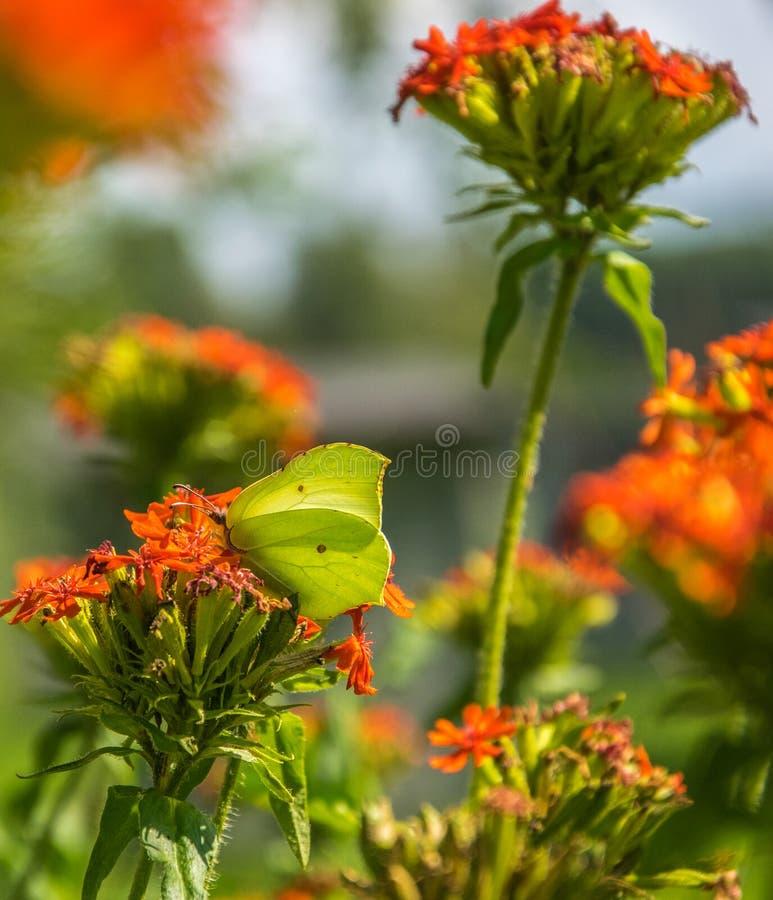 蝴蝶褐铁矿,共同的硫磺,在Lychnis chalcedonica开花的植物的Gonepteryx rhamni户外在夏日 免版税图库摄影