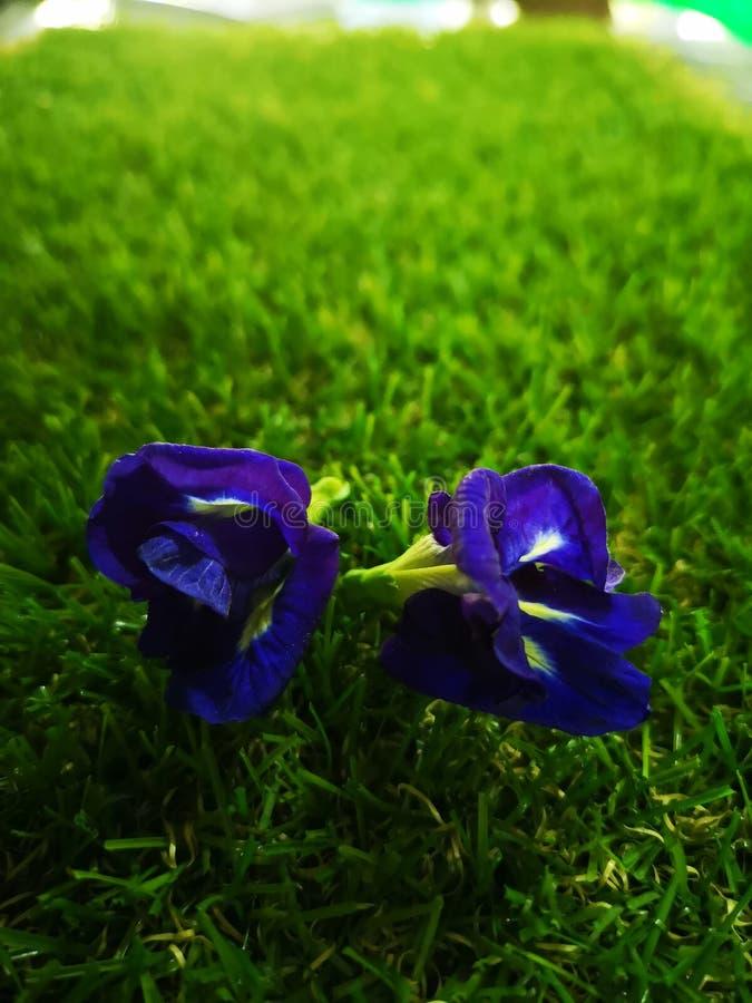 蝴蝶豌豆花在庭院里 免版税图库摄影