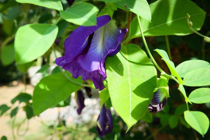 蝴蝶豌豆花[蓝色茶] 图库摄影