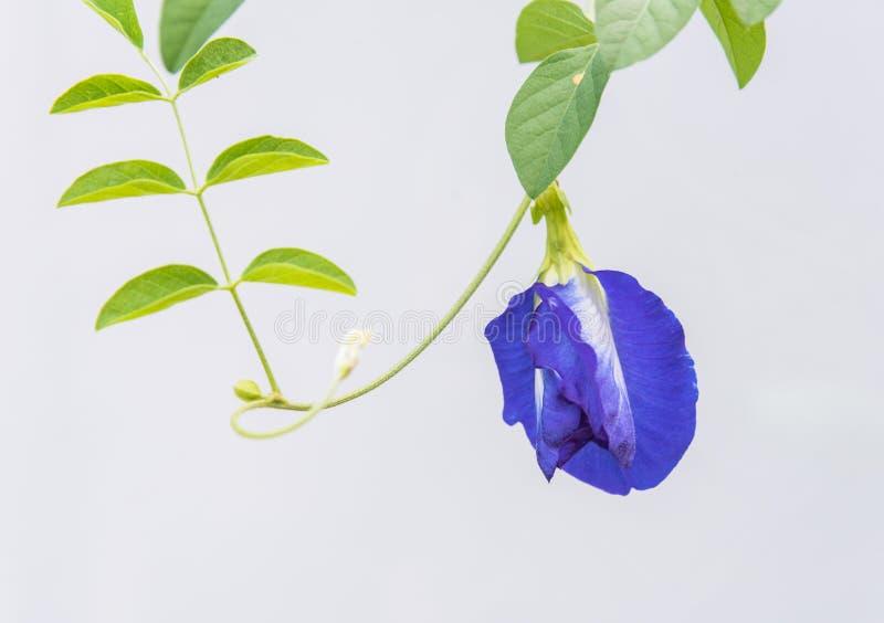 蝴蝶豌豆花 库存图片