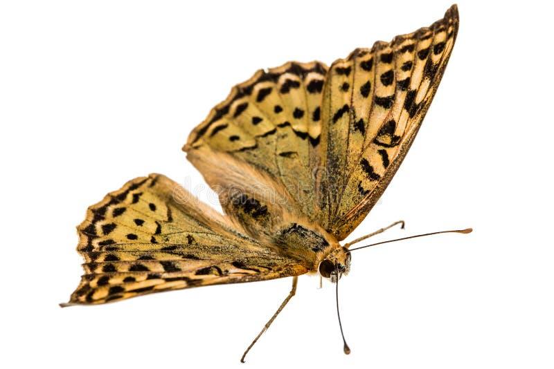 蝴蝶银被洗涤的贝母,拉特 Argynnis paphia, isola 免版税库存图片