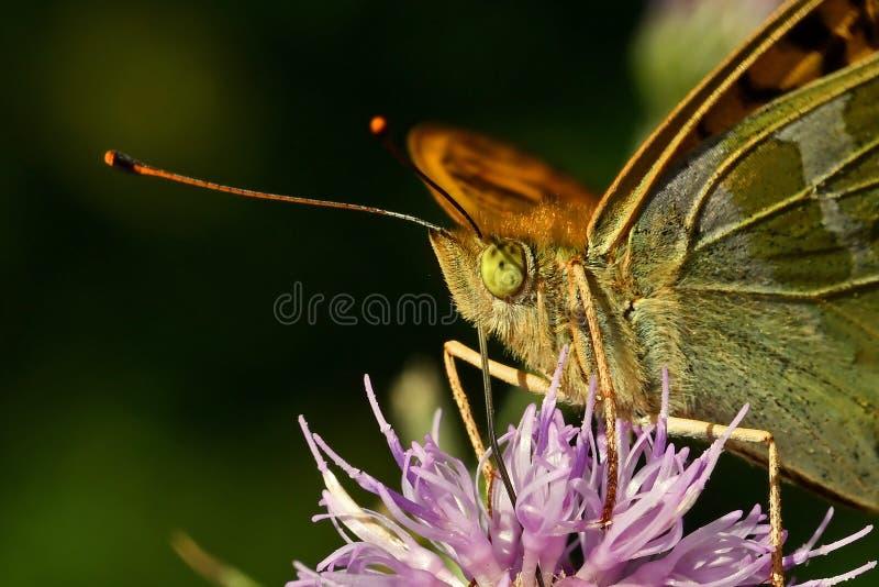 蝴蝶银被洗涤的贝母Argynnis paphia 免版税库存图片