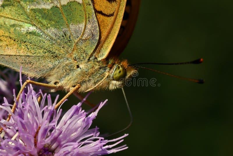 蝴蝶银被洗涤的贝母Argynnis paphia 免版税库存照片