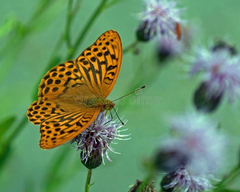 蝴蝶银被洗涤的贝母Argynnis paphia 库存照片