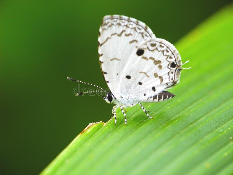 蝴蝶马来半岛megisba sikkima白色 库存照片