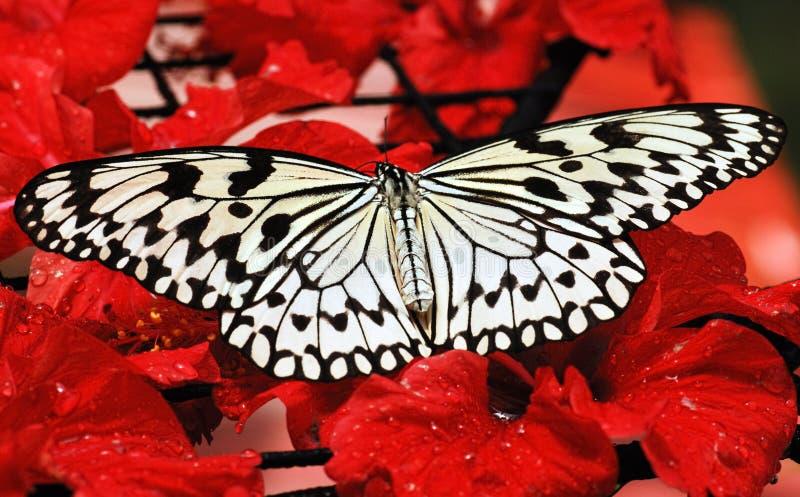 蝴蝶马来西亚槟榔岛 免版税库存图片