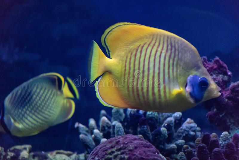 蝴蝶鱼是主要在珊瑚礁居住的一个明亮的海鱼 免版税库存图片