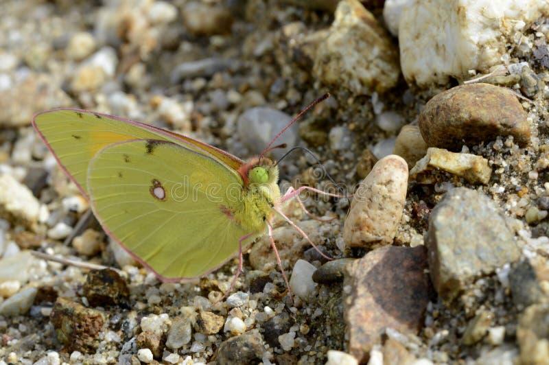 蝴蝶黄疸番红花 图库摄影