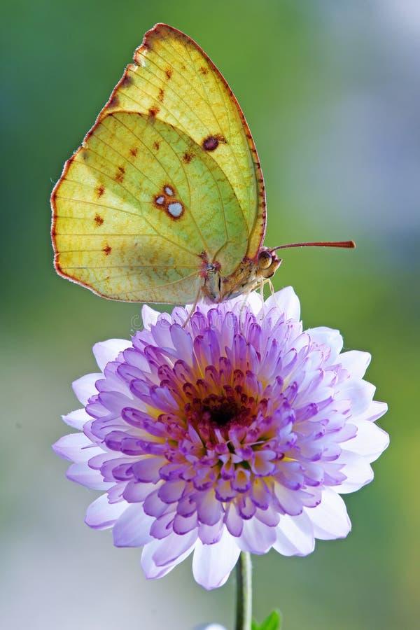 蝴蝶黄色 图库摄影