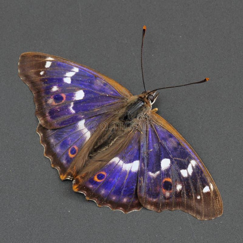 蝴蝶黑暗的皇帝灰色较少在紫色 免版税图库摄影