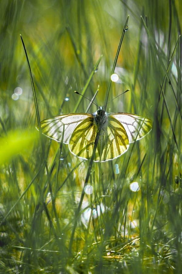 蝴蝶,皮利斯napi,在草在一sring的天 免版税库存照片