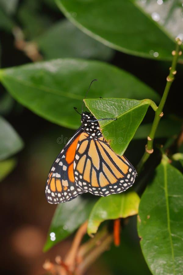 蝴蝶-国君-蛱蝶科- Danainae 免版税库存照片