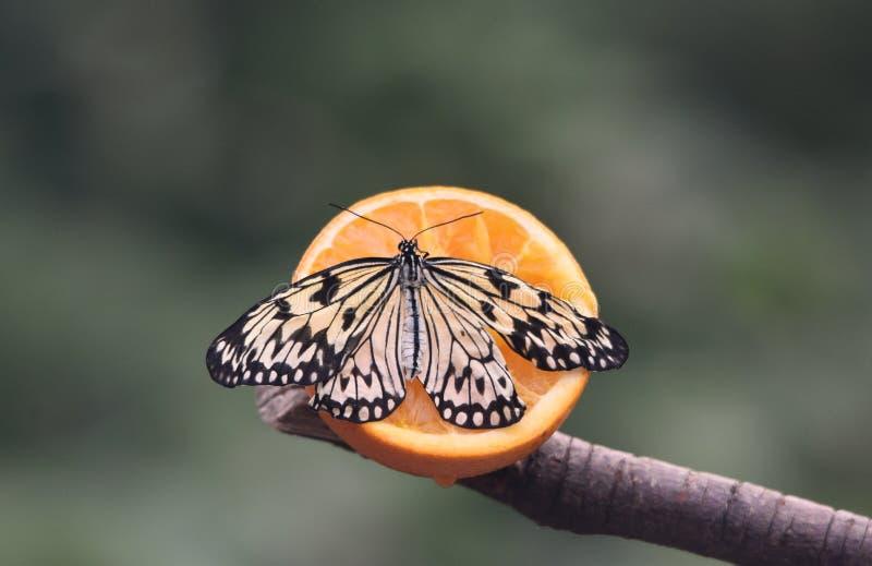 蝴蝶-树若虫 库存照片