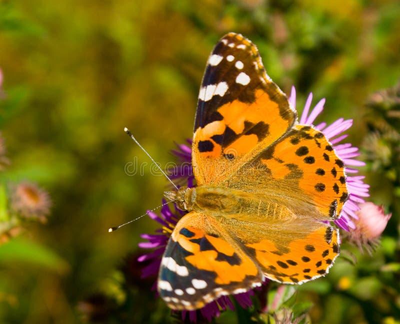 蝴蝶cardui五颜六色的蛱蝶 库存图片