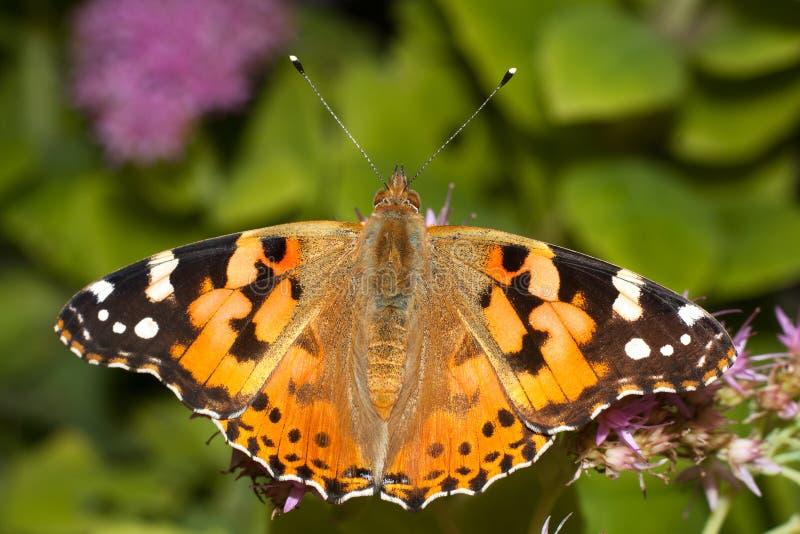 蝴蝶cardui夫人被绘的蛱蝶 库存图片