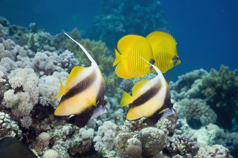 蝴蝶chaetodon鱼被屏蔽的semilarvatus 免版税库存照片