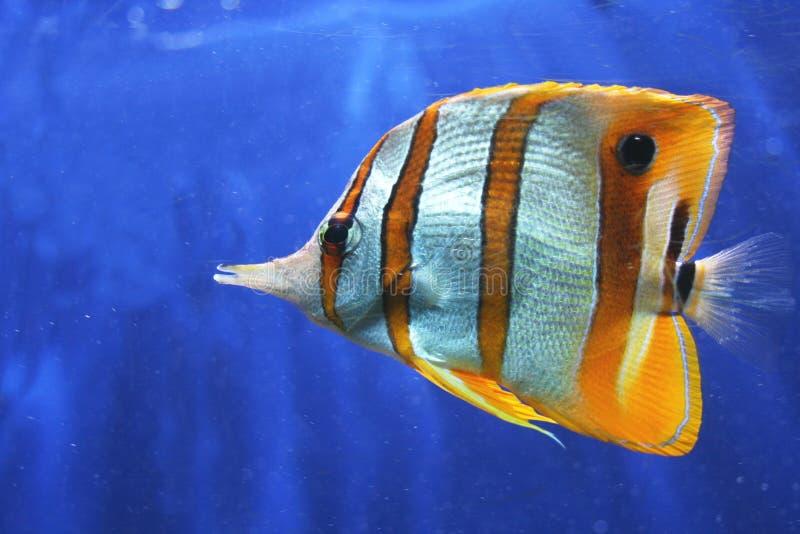 蝴蝶copperband鱼 免版税库存图片