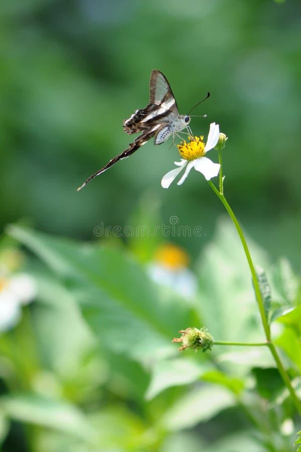 蝴蝶dragontail少见白色 免版税库存图片